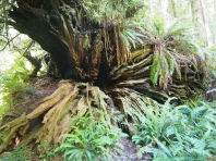 Base of a downed redwood on the trail