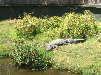 One of the many alligators in the zoo